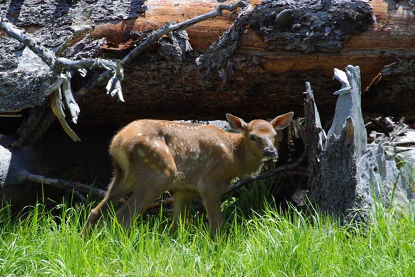 New Born Elk